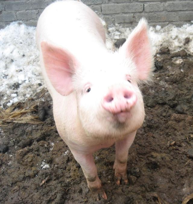 懒汉养猪猪圈设计图展示
