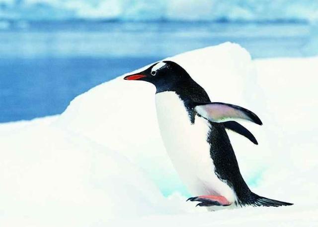冰上的小企鹅
