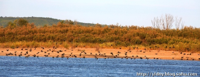 秋日的黑龙江上游,气温一天比一天凉。九月初,大江两岸已是轻霜阵阵,寒气袭人。然而,栖息在黑龙江上的许多珍奇鸟类却迟迟不肯南迁。因为这里广袤的山林,清澈的江水,平坦的沙滩,丰厚的水草,幽静的环境,给它们创造了优良的生存条件,这是一个让它们眷恋的地方,是珍禽益鸟繁衍生息的天堂。