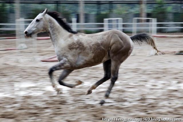 电影的发明,是因为人们为了证实马在奔跑的时候是否会四蹄离地,1877年,摄影家迈布里奇同时使用12台摄影机拍摄了第一套分解马的奔跑动作的动体照片。最后得出结果是;马总会有一条腿着地的! 日前我在广州马术俱乐部拍到一张奔马的图片。想和大家分享一下!我觉得这匹马四蹄离地了。