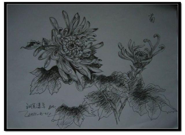 钢笔速写 菊