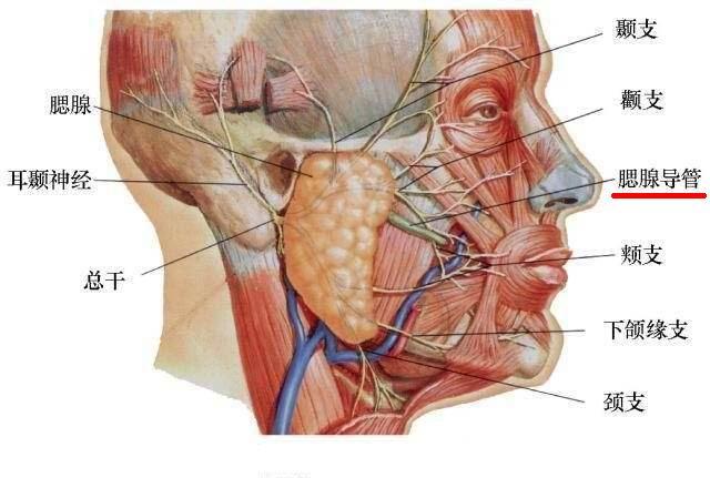 [转载]美容外科——面部局部解剖