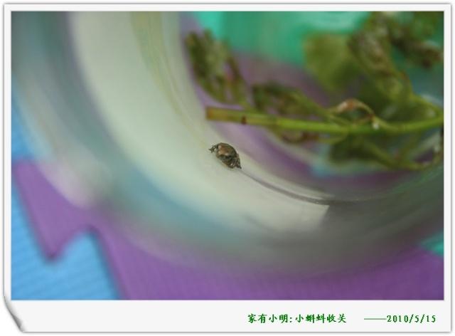 再上一些小蝌蚪成型的照片,越看越可爱!
