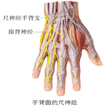 尺神经结构示意图