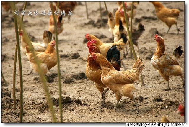 實拍蘇南散養雞場驚慌失措的雞群